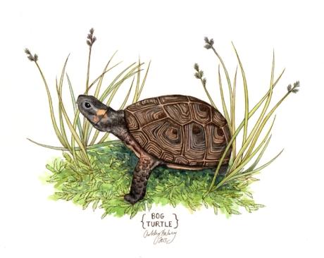 bog turtle_AshleyHalsey2013
